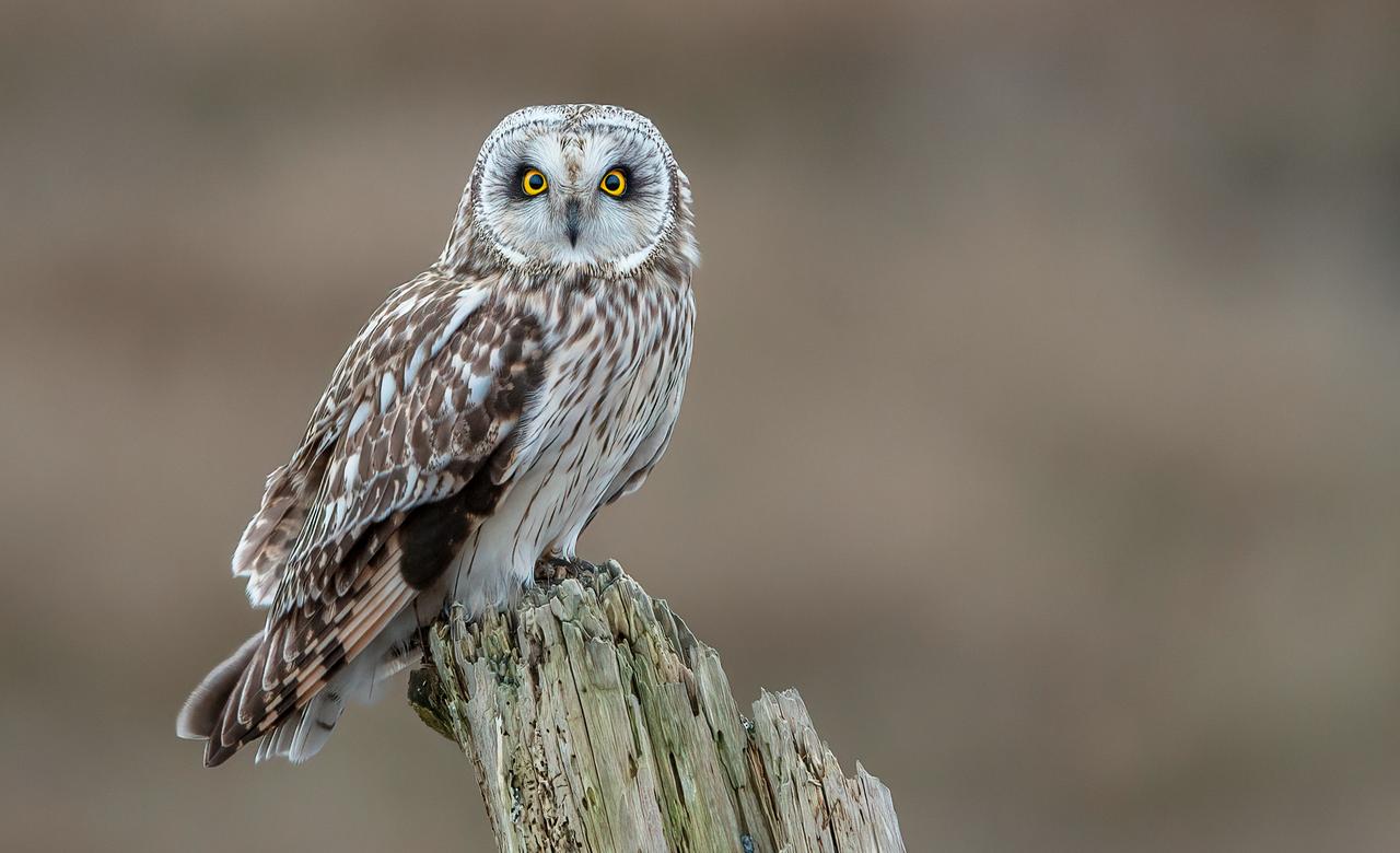 Short-eared Owl Portrait