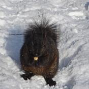 Écureuil noir et neige blanche...