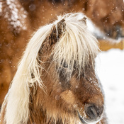 Petit poney dans la neige