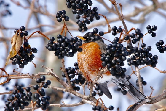 Snacking On Berries