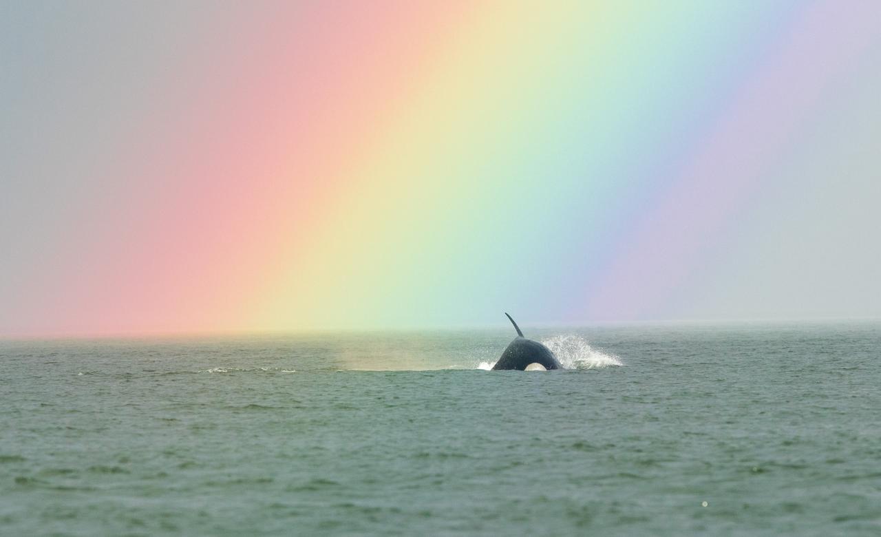 Orca Under a Rainbow