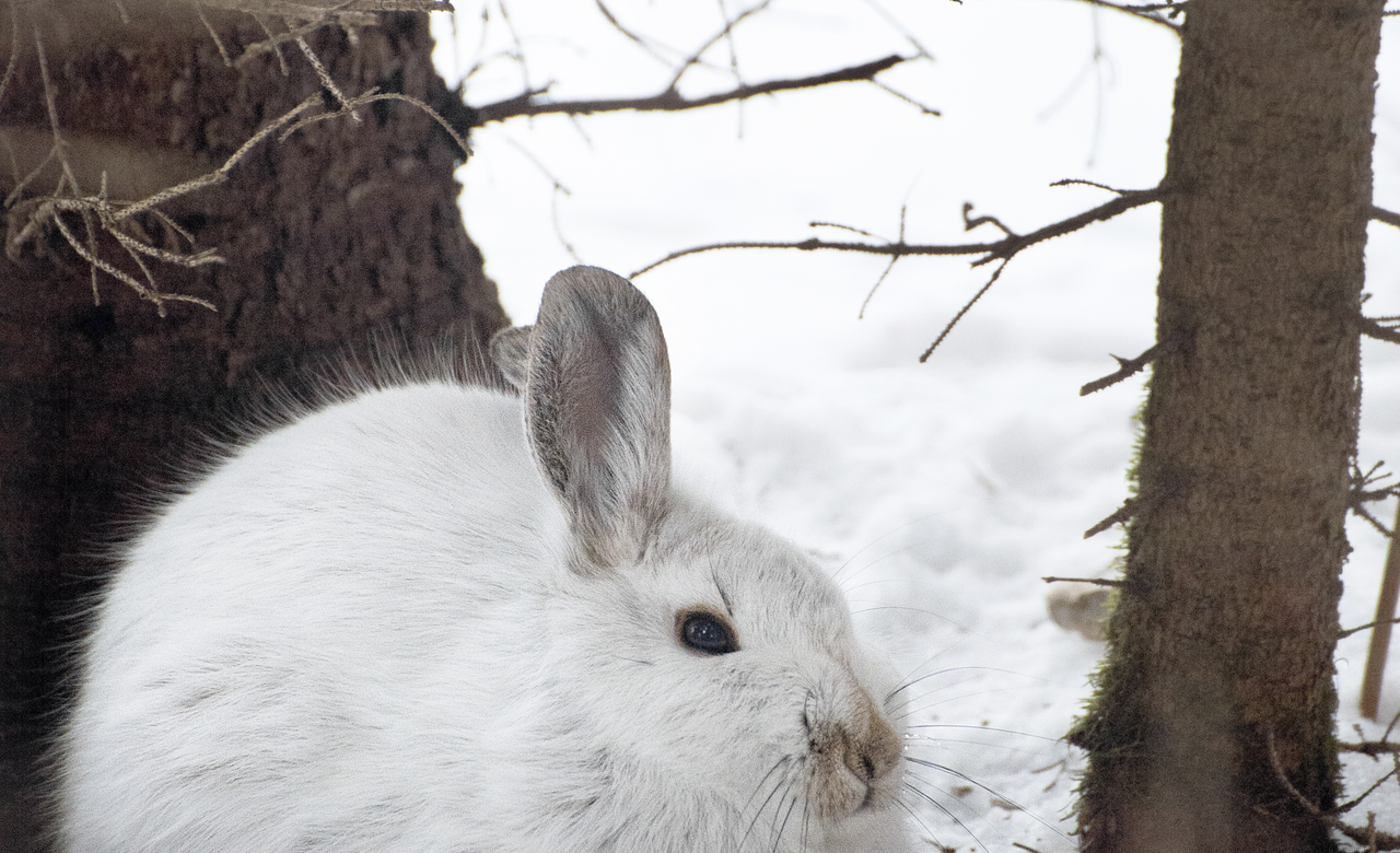 Chilly Hare