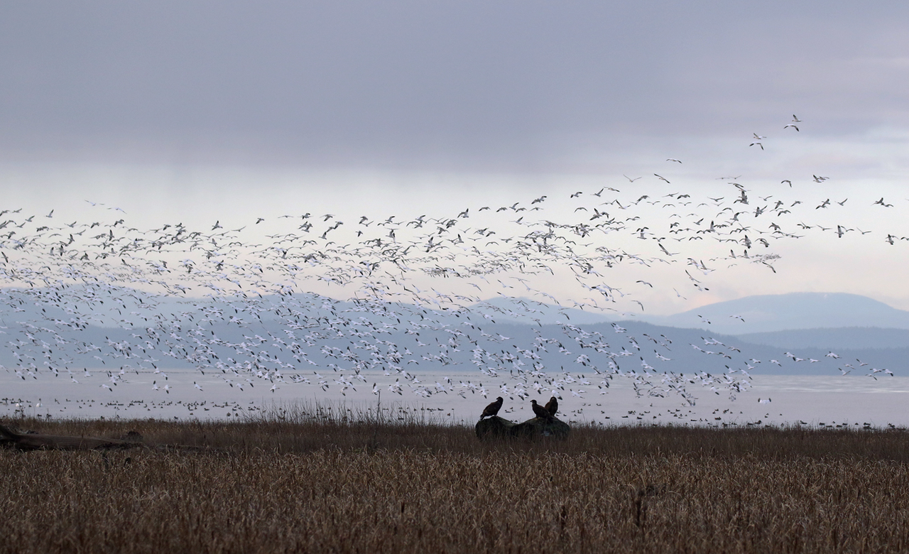 Bald Eagles And Waterfowl