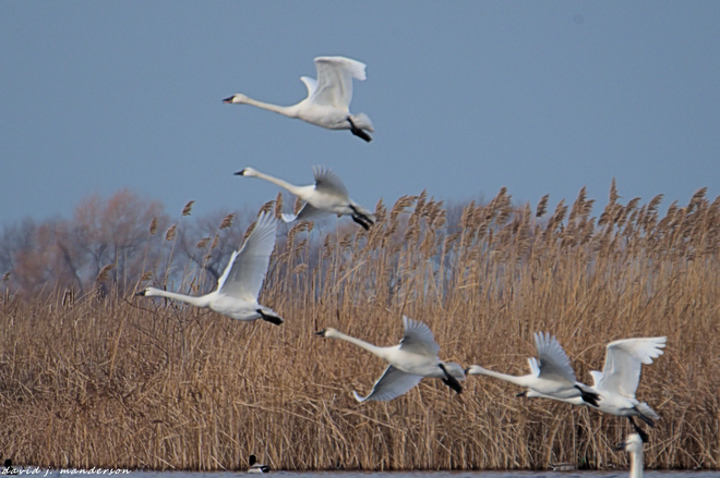Tundra Swans Pain Court, ON