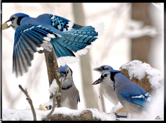 Blue Jay Meeting at the log Cantley, QC