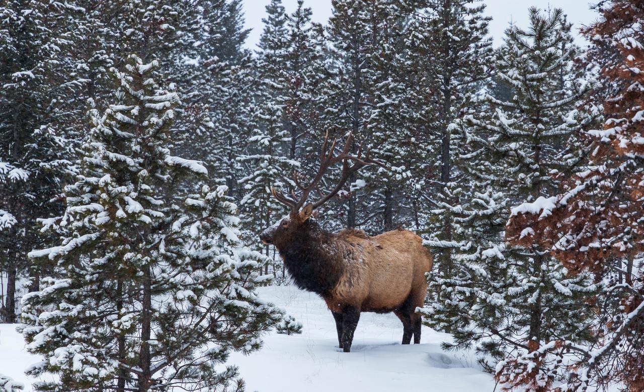 Elk braving the snow