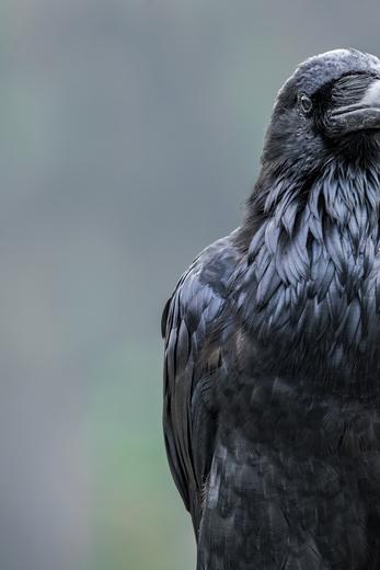 Raven Half