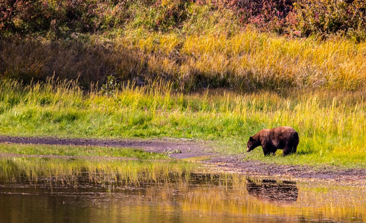 A Bear's Reflection