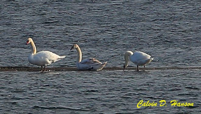 Seven Mute Swans in Ingleside Ontario South Stormont, ON