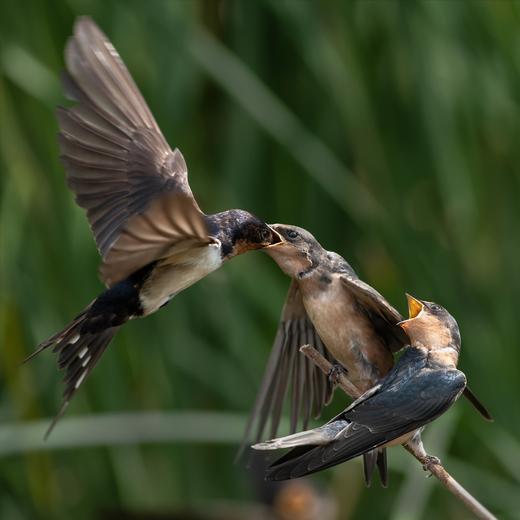 Barn Swallow Feeds Fledglings
