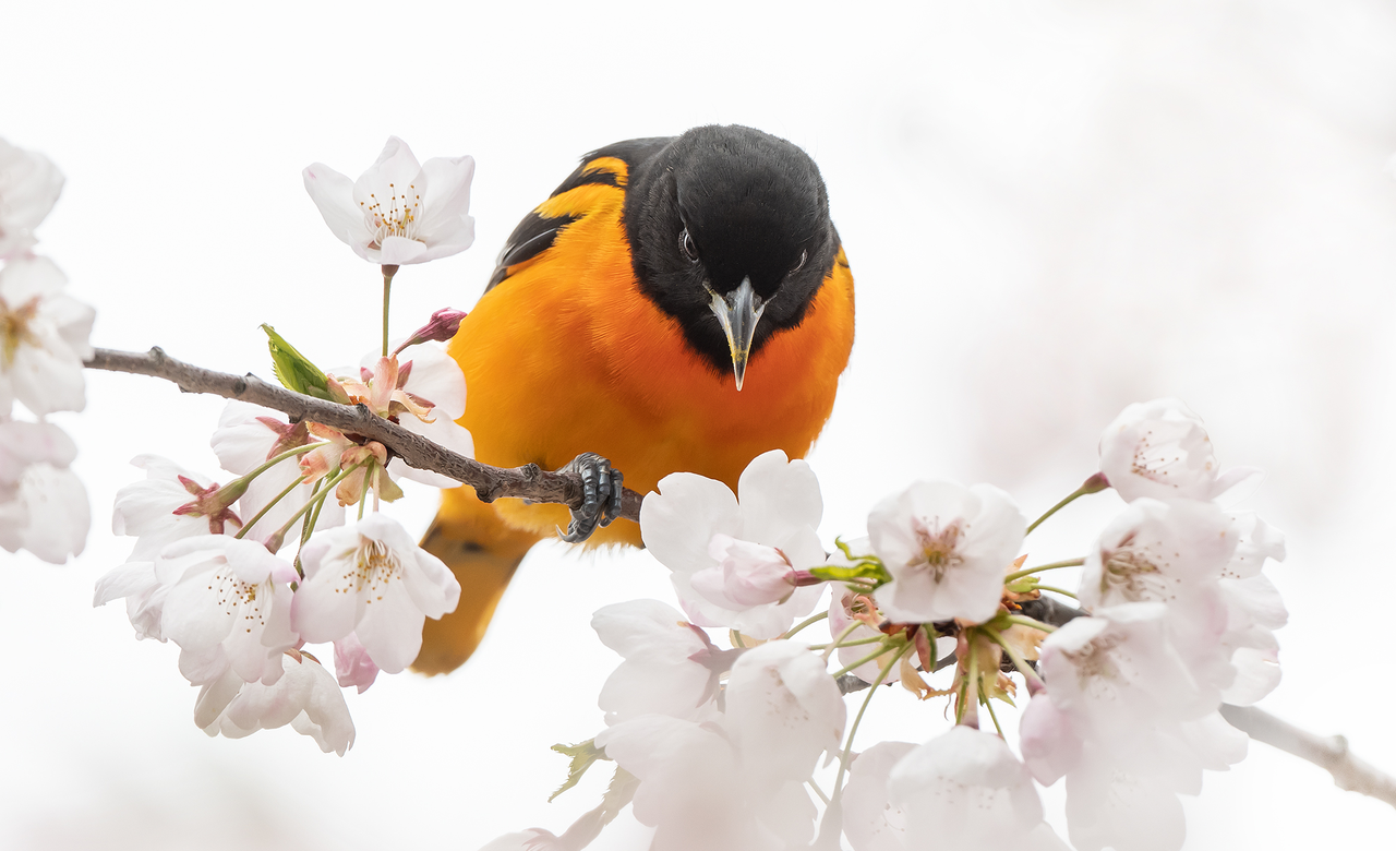 Baltimore Oriole In Cherry Blossoms