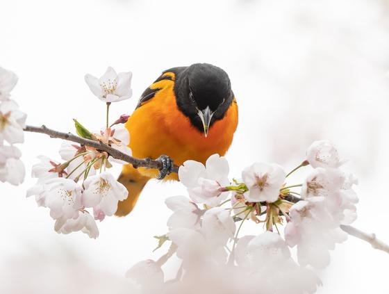 Baltimore Oriole In Cherry Blossoms