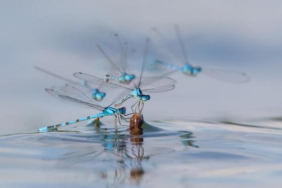 Damsleflies jockeying for a perch