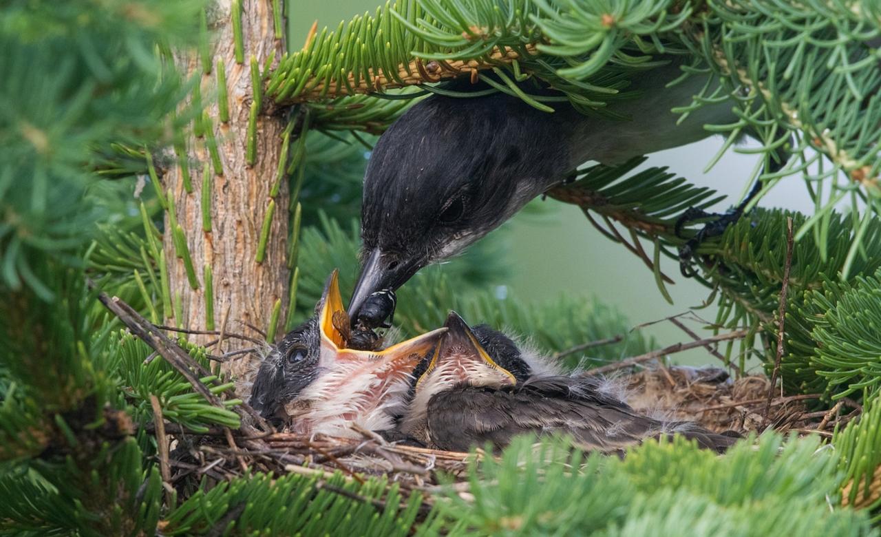Eastern Kingbird Intimate Nest View