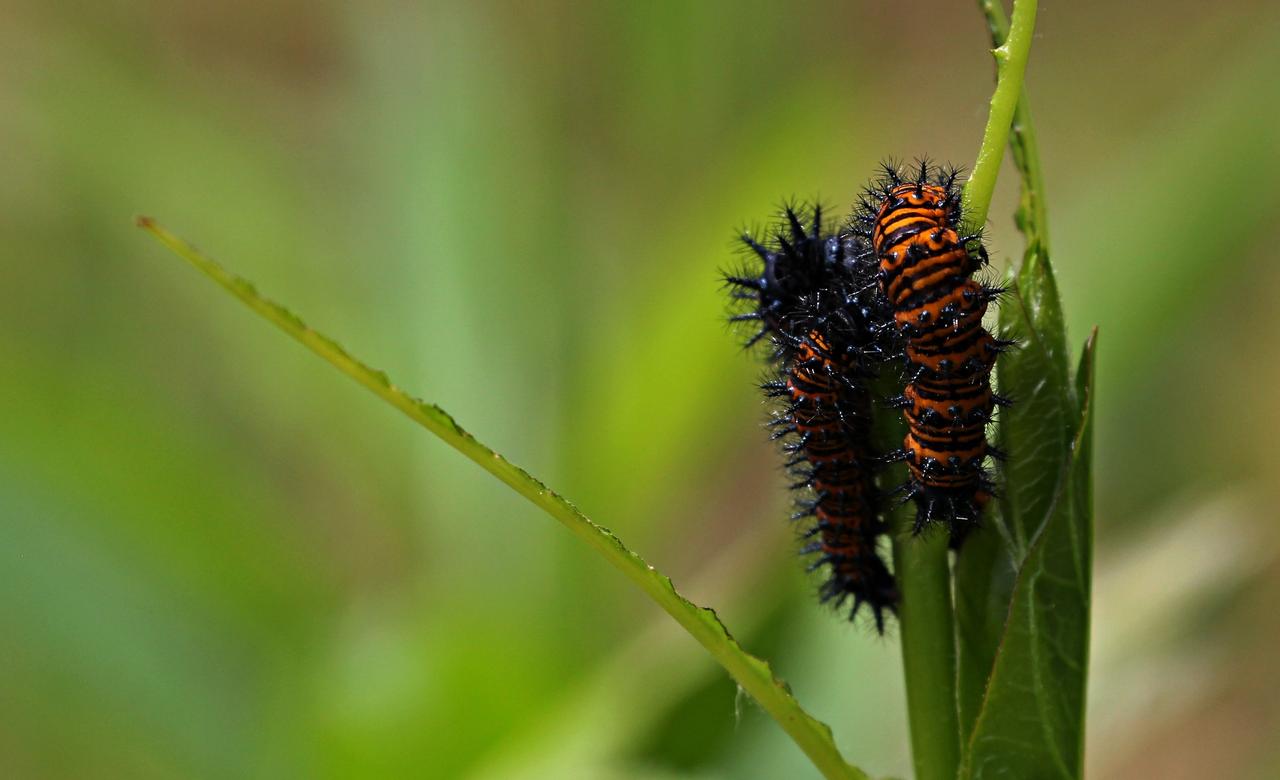 Caterpillar covered