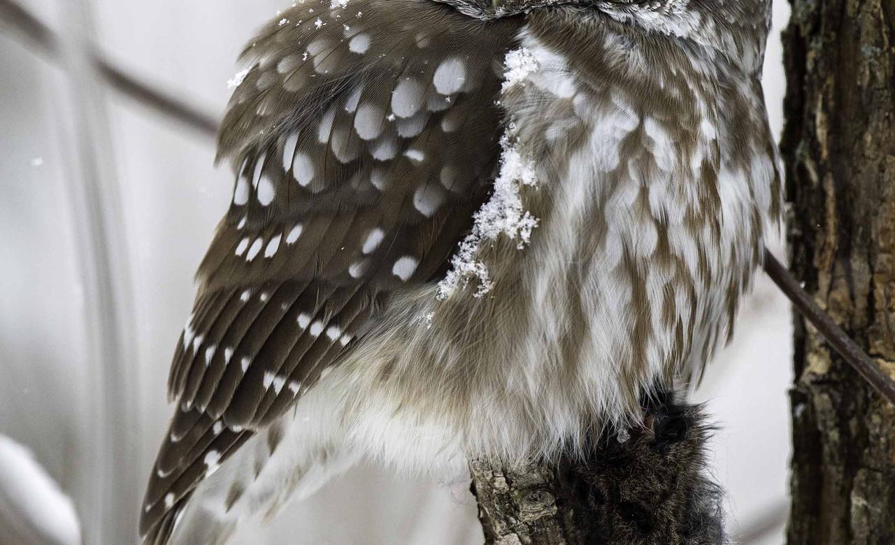 Sleeping Boreal Owl