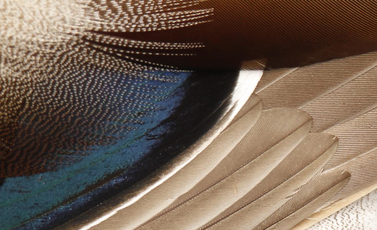 Mallard Closeup