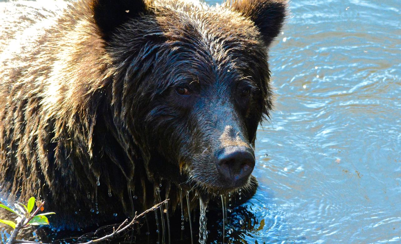 Grizzly Portrait III