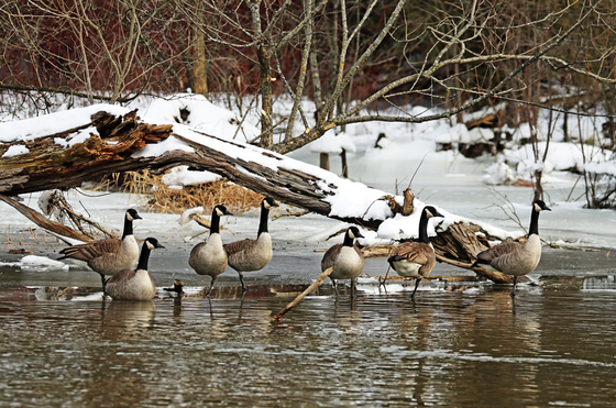Canada Geese In Winter