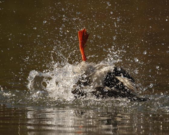 Splashing Duck