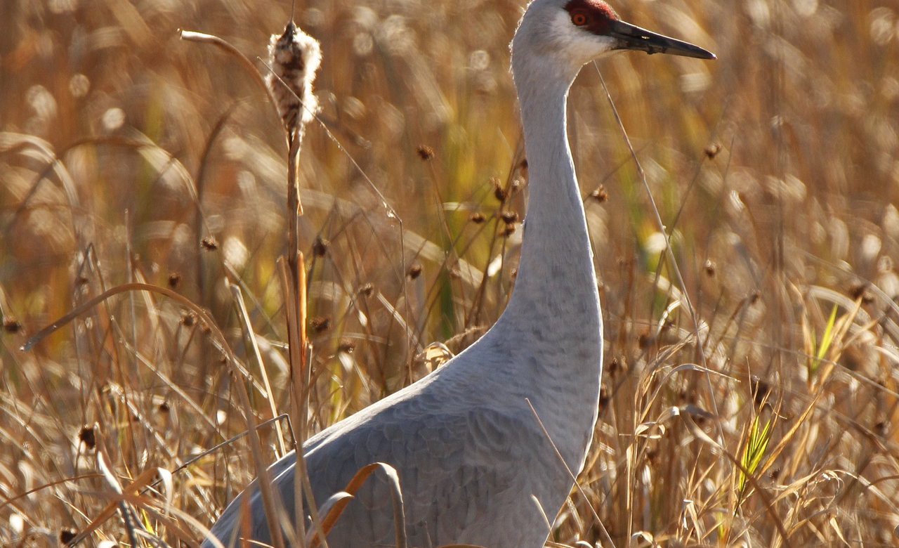 Crane in the Reeds