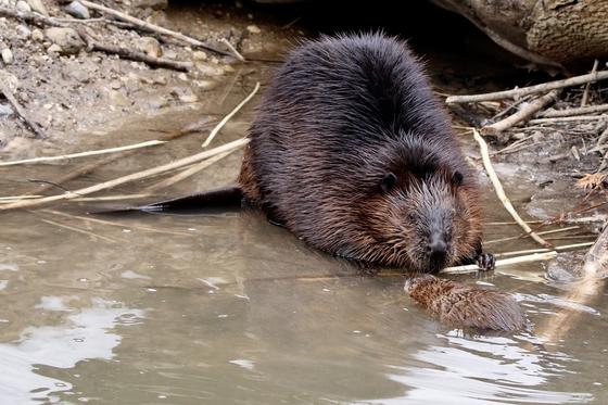 Big Beaver/Little Muskrat