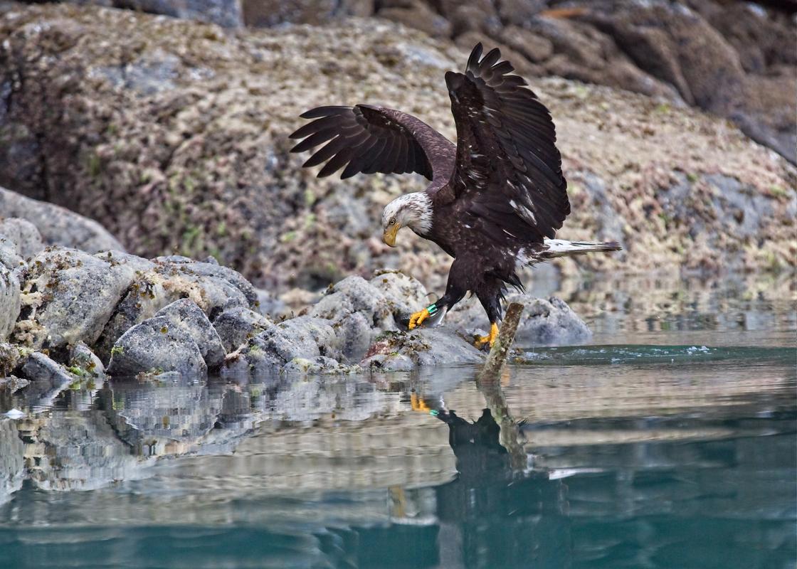 Bald Eagle walking with Herring