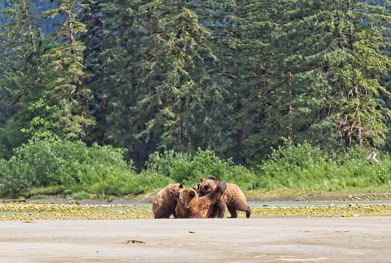 Mama Grizzly feeding her triplets