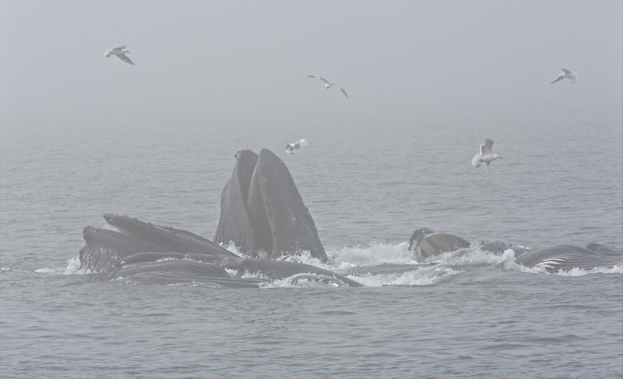 Humpback whales bubblenetting