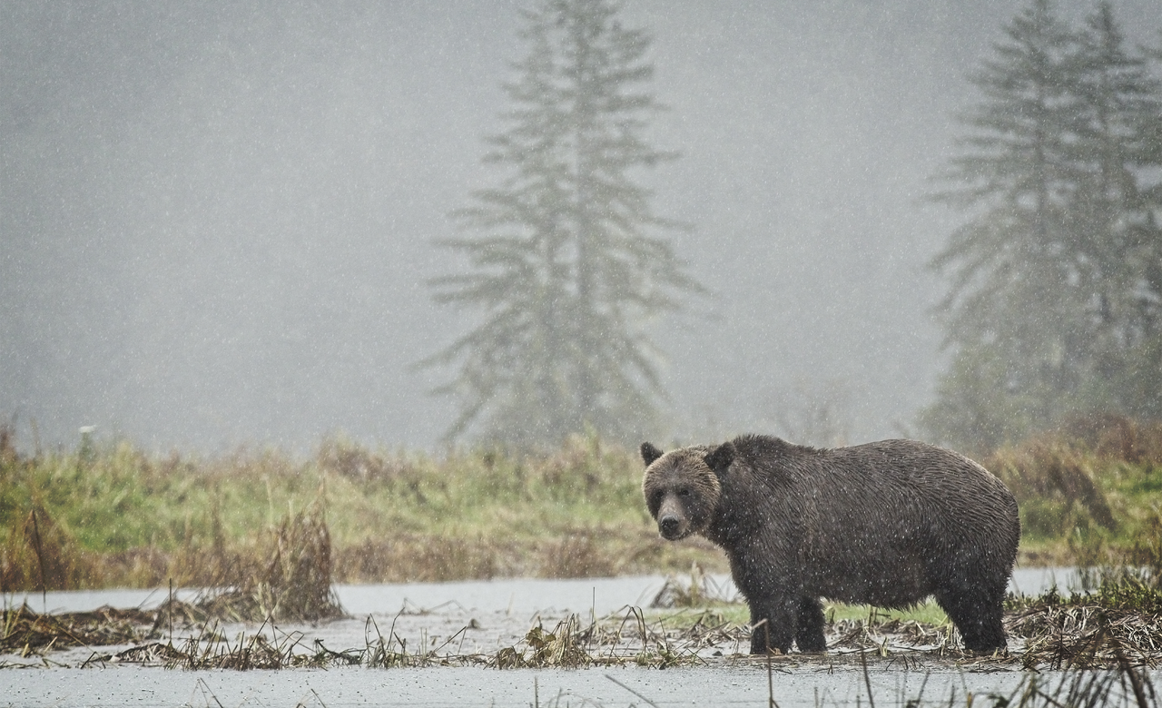 Mama Grizzly scavenging for salmon in estuary