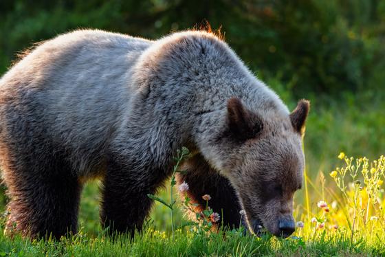 Blonde Grizzly Breakfast