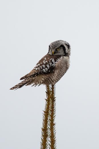 Northern Hawk Owl on Stilts