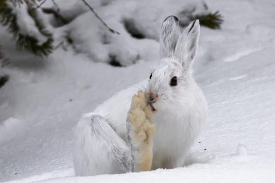 Snow Shoe Hare Foot Bath