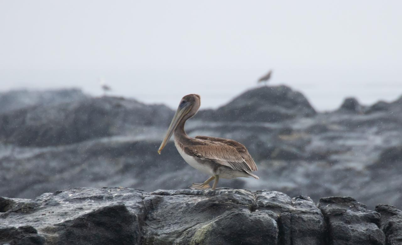 Drip Pelican in the Rain