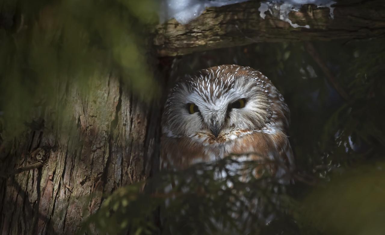 Saw-whet owl under a cedar tree