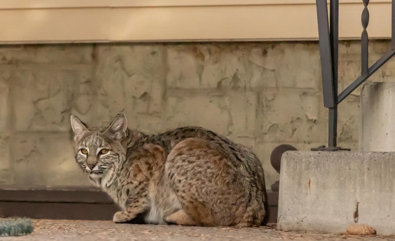 Visiting Bobcat