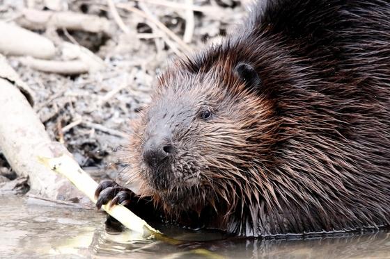 Beaver Looking At Me