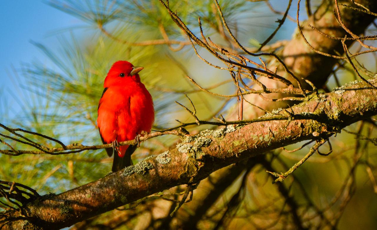 Sunset Scarlet Tanager