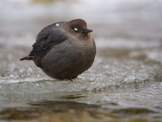 Water Ouzel Winter Life