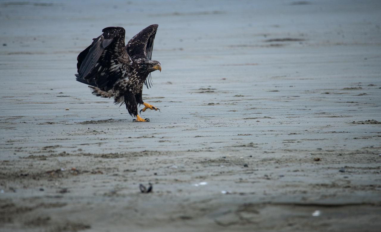 A young bald eagle on the beach
