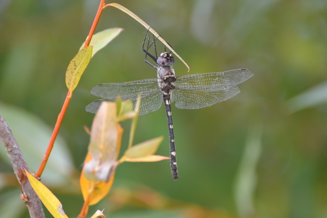 Dragonfly Sicamous BC