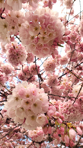 Cherry Blossom Vancouver, BC