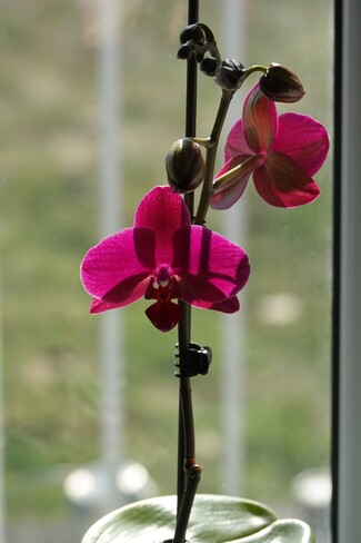 Wife's Orchid has now revived and is blooming! Oshawa ON