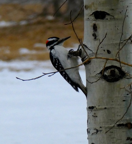 TWO DIFFERENT PECKER SPECIES!! Calgary, AB