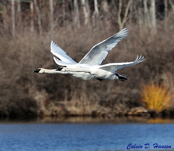 Trumpeter Swans at Ingleside Ontario South Stormont, ON