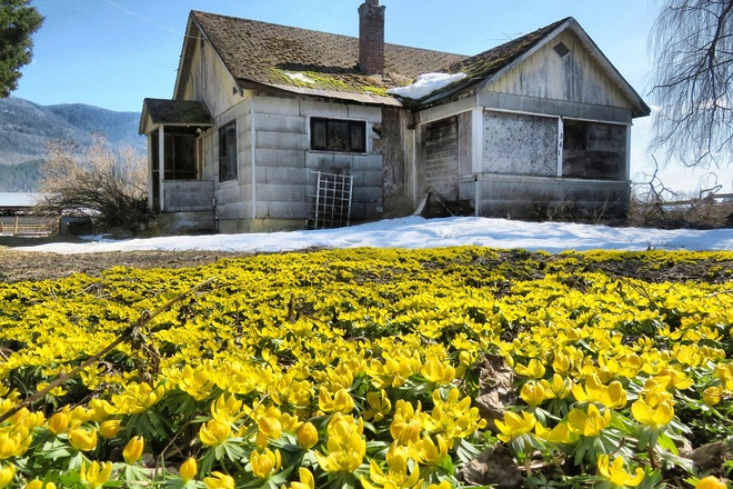 Winter aconites in front of abandoned house. Mara, B.C.
