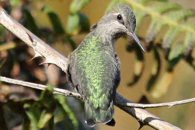 Hummingbird Chemainus, BC