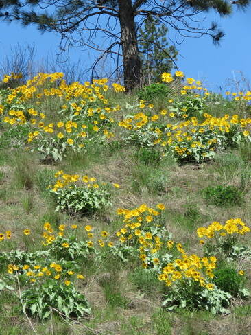 Sunflowers Kamloops, BC