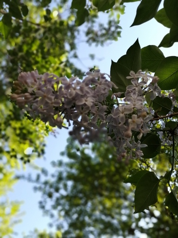 The sweet smell of lilacs Saint-Lin-Laurentides, QC