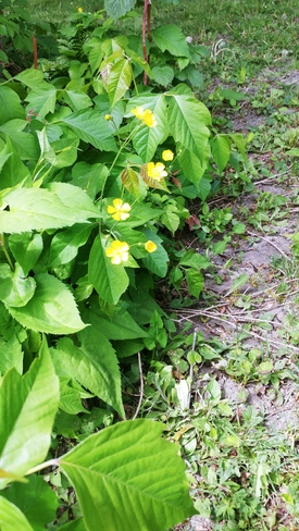 Buttercups! Pointe-Claire, QC